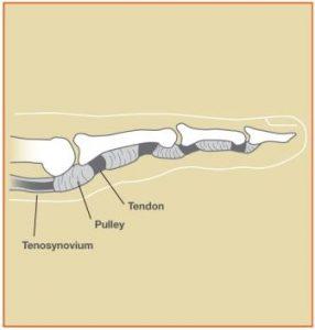 normal finger diagram