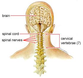 neck nerve diagram